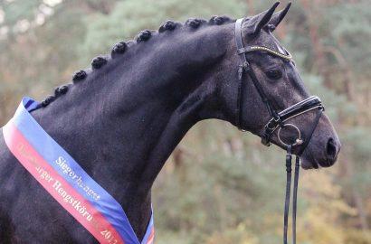 Oldenburger Pferdezuchtverband: Triumph der Besten