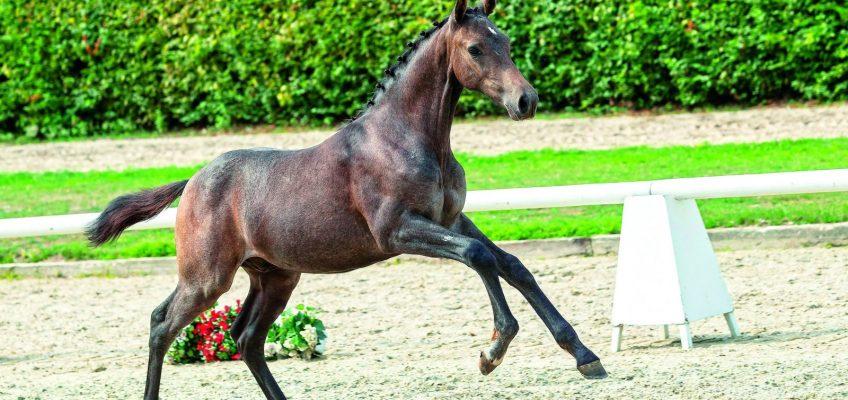 Westfälische Online Fohlen-Auktion ist gestartet