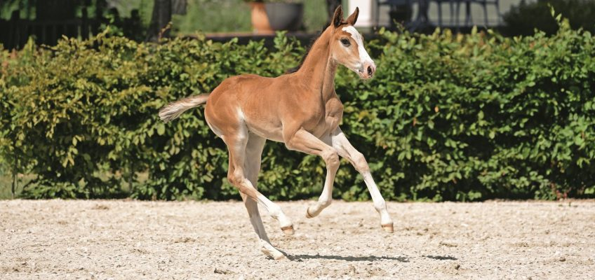 Invitation to the Holsteiner Foal Auction Sale at Elmshorn