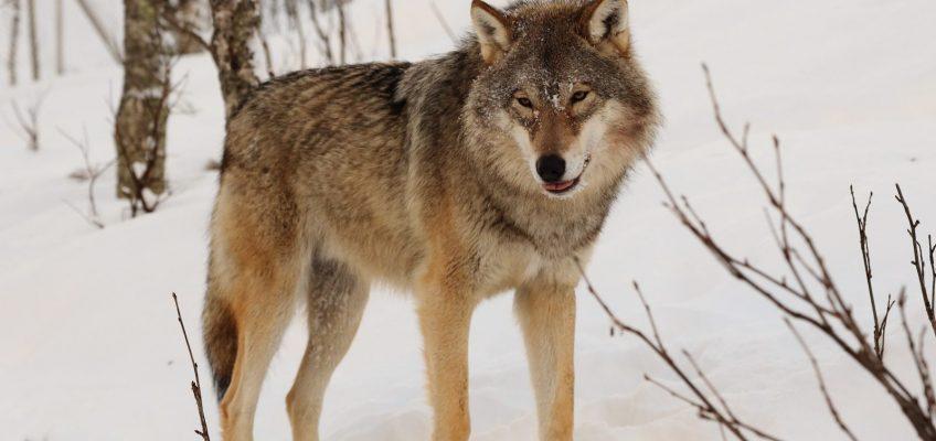 Wolf tötet Ponyfohlen in Stöcken