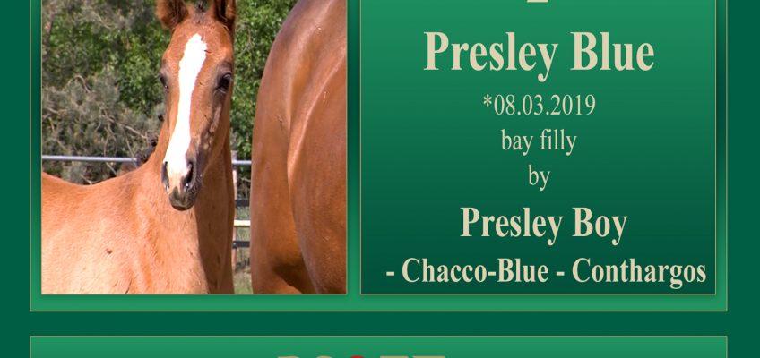 Presley Blue teuerstes Springpferd der PS Online-Auktion