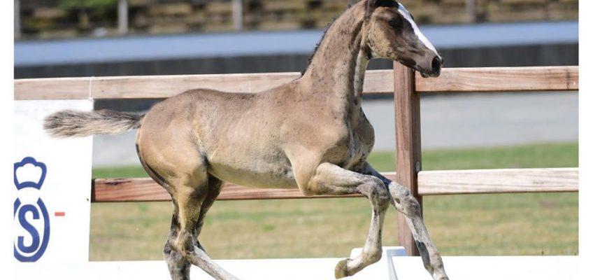 Oldenburger Pferdezuchtverband: Elite-Fohlenkollektion online