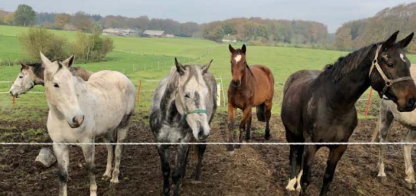 60 Holsteiner mit besten Pedigrees gerettet, jetzt folgt die Versteigerung
