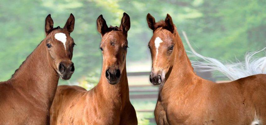 Auktionslot der 4. Westfälischen Fohlenauktion ist online