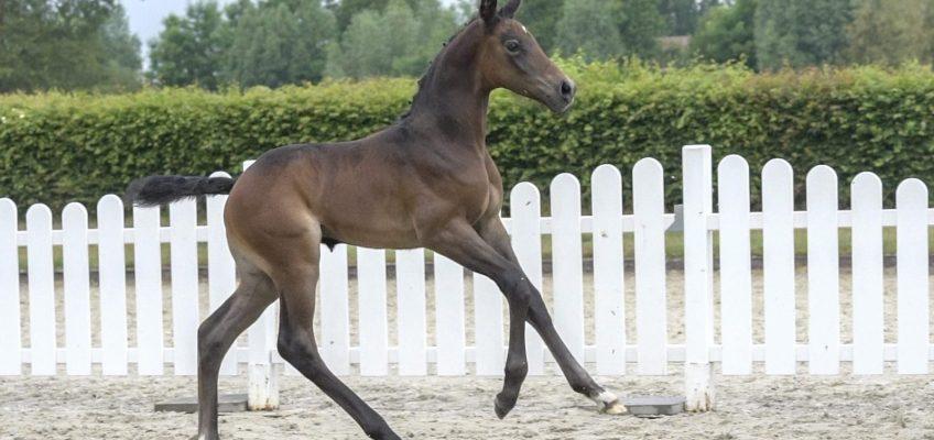 Westfälische Online-Auktion für springbetonte Fohlen: Zweite Runde