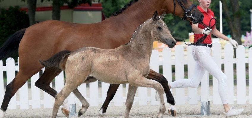 Online-Spezial-Auktion: Die Westfälischen Ponys sind los