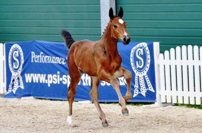 3. Online-Auktion mit Fohlen von Schockemöhle-Hengsten