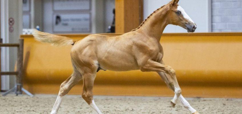 Limburg Fohlen Auktion präsentiert 78 vielversprechende Talente