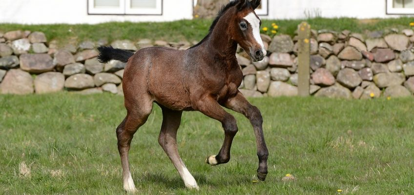Holsteiner Pferdetage: 28 Fohlen sind im Angebot!