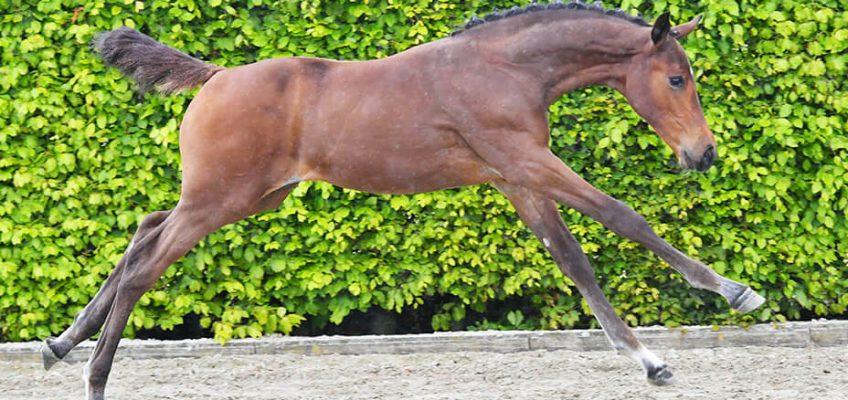 Equbreeding.auction erzielt Durchschnitspreis von 26.000 Euro