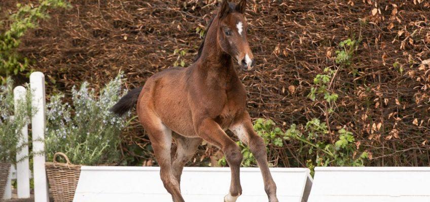 Holsteiner Pferdetage: Samstag ist Auktionstag!