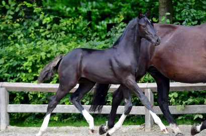 Flanders Foal Auction: from Totilas look-a-like to 'Tokyo-foals'