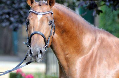 Marcus Ehning mit zwei neuen Pferden erfolgreich in Peelbergen