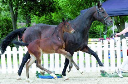 Westfälisches Pferdestammbuch zufrieden mit Fohlen-Auktion bei der DAM